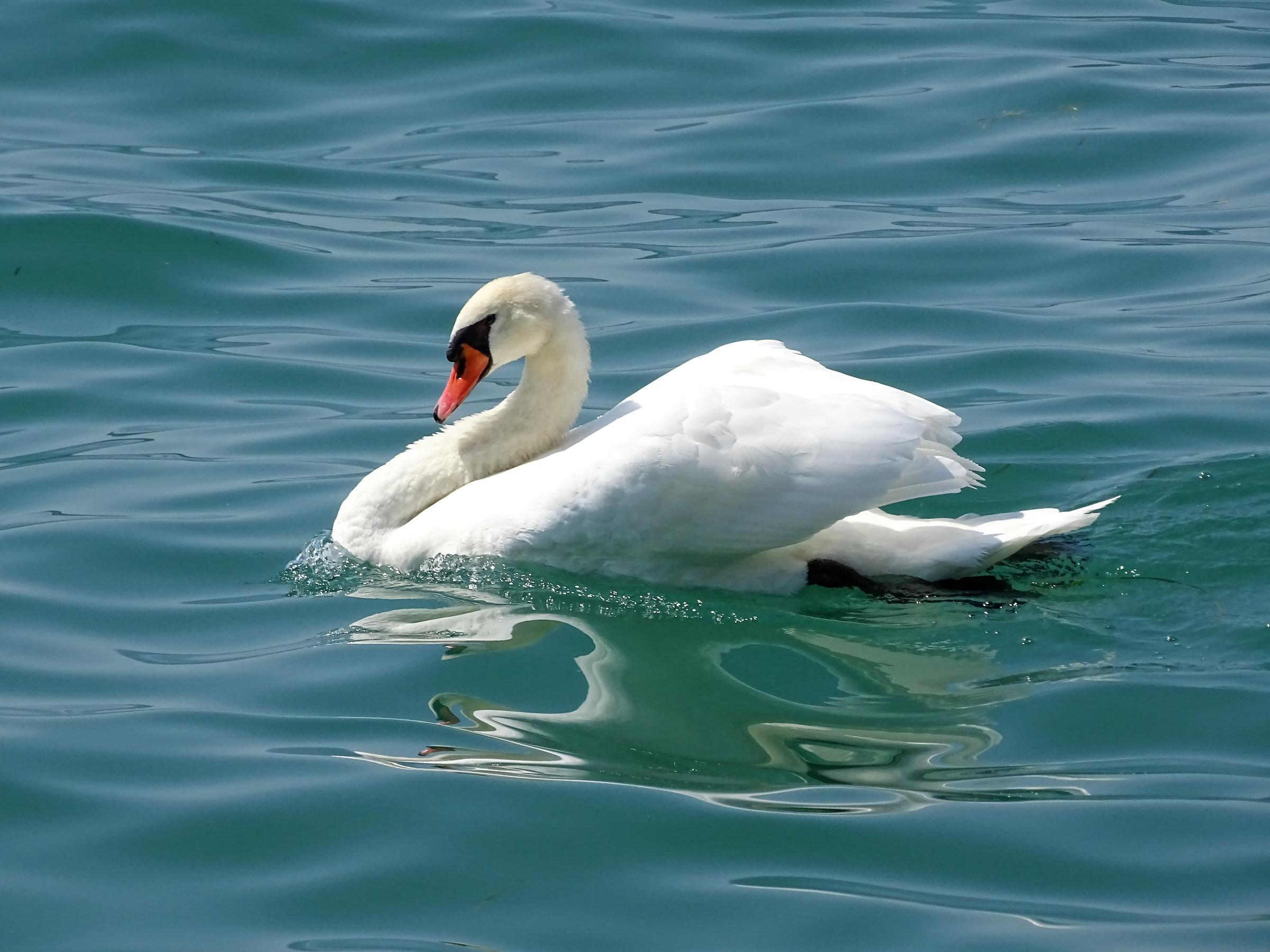 Swan on Lake Garda...