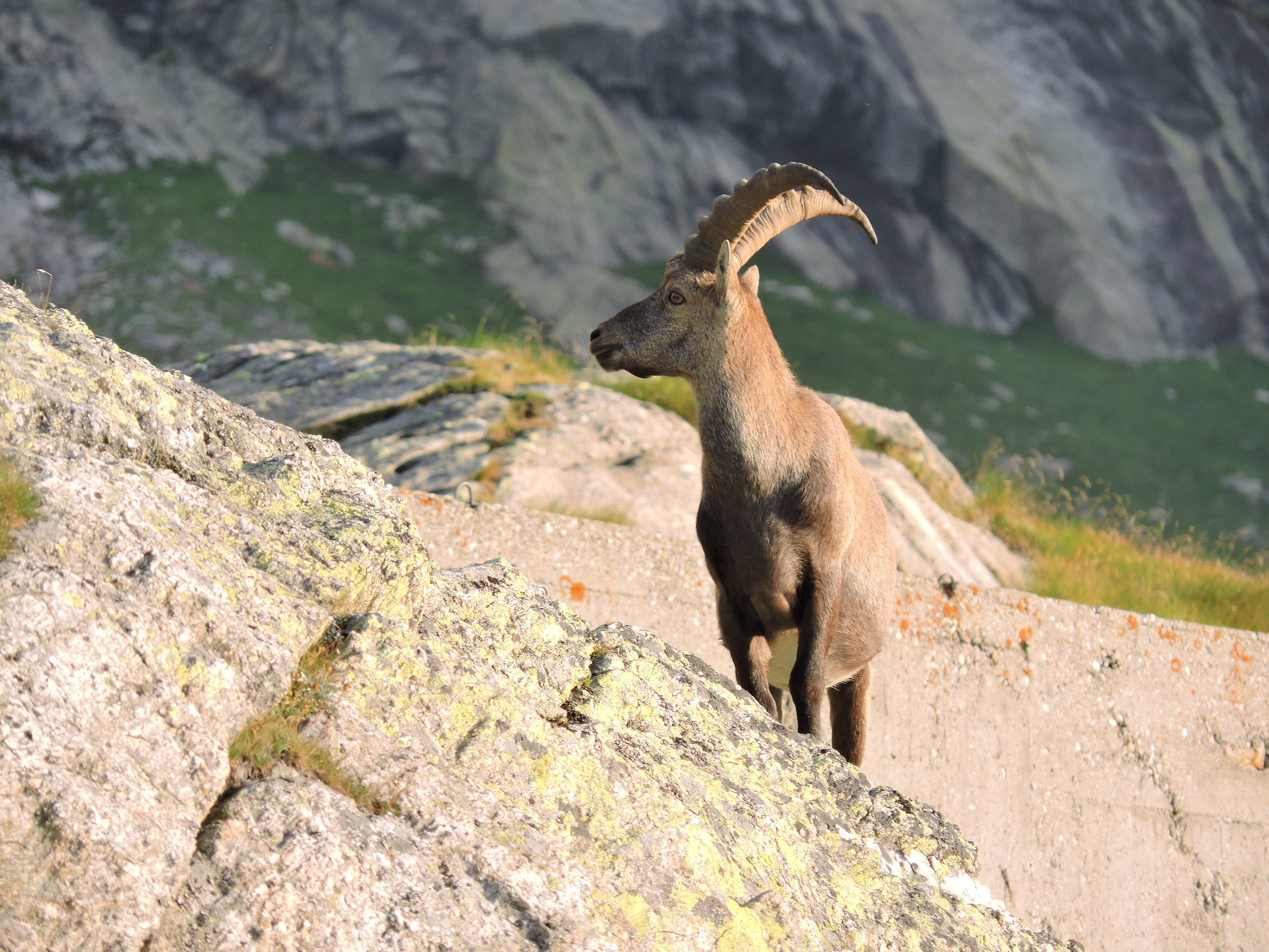 Male ibex...