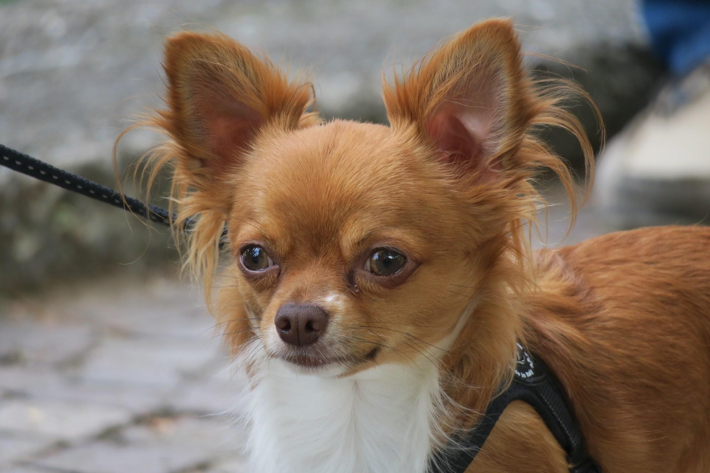 Chihuahua a pelo lungo 3...