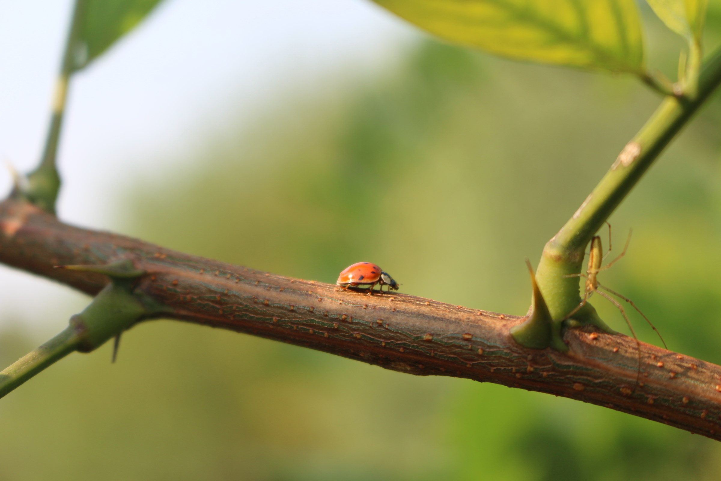 Ladybird on Acacia...