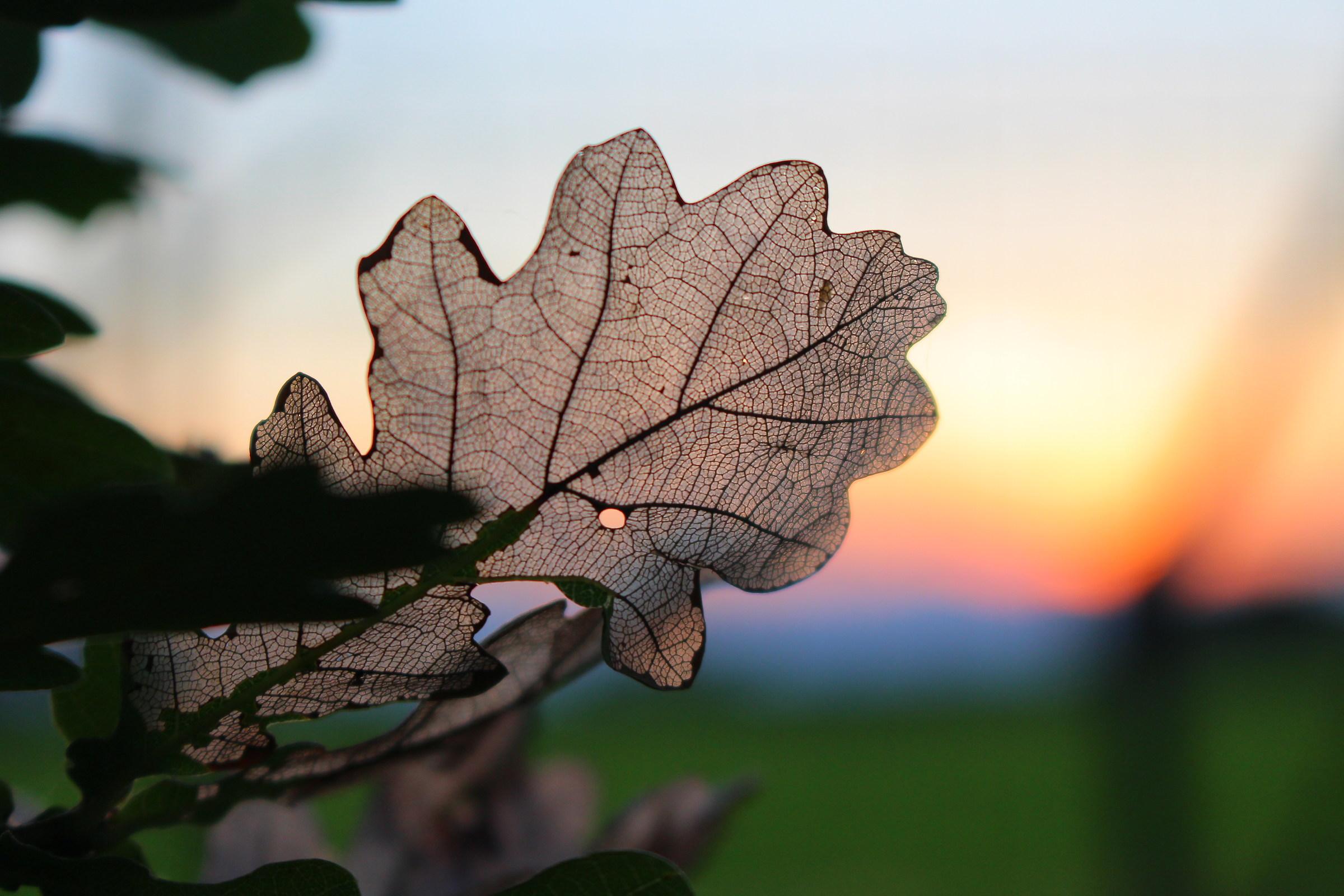 Oak Leaf...