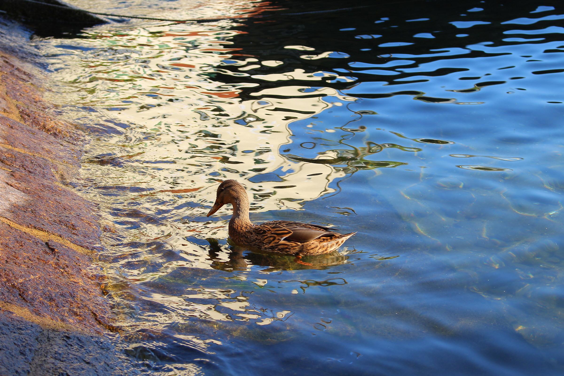 Female Mallard on Lake Maggiore...