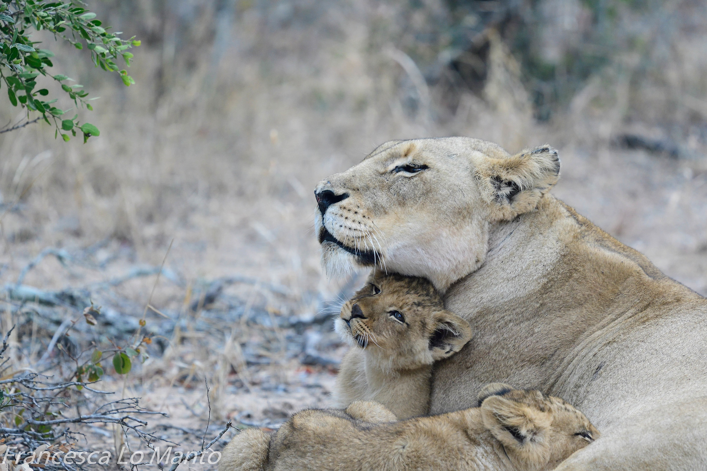 Lioness with puppy...
