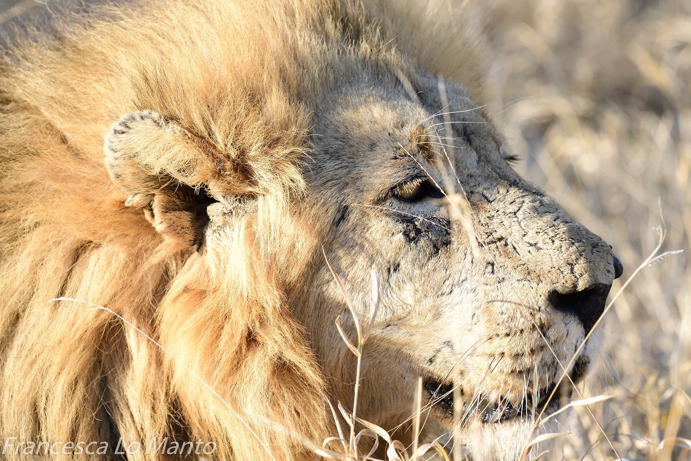 Male lion...
