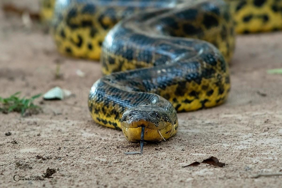 vedere anaconda
