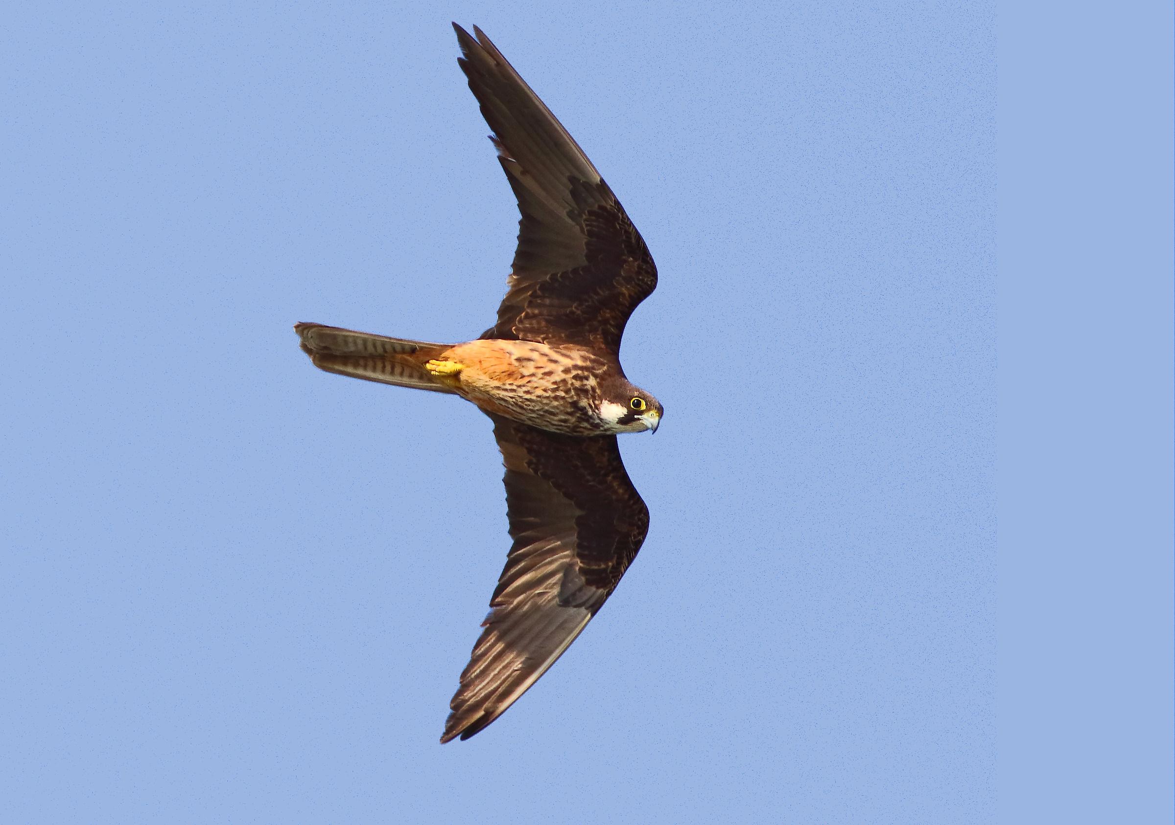 Queen Hawk...