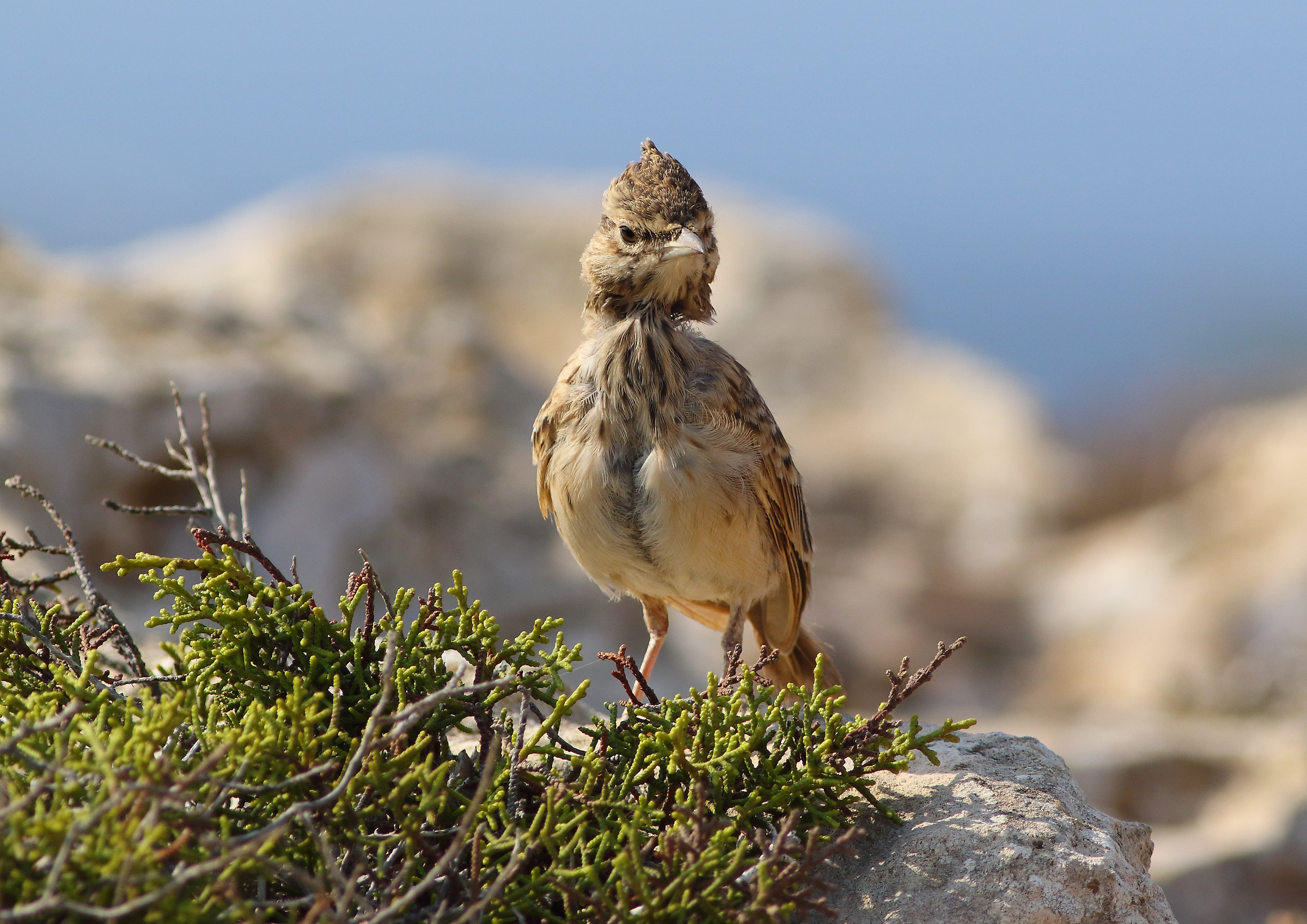Juv. Chaptie of Cyprus...