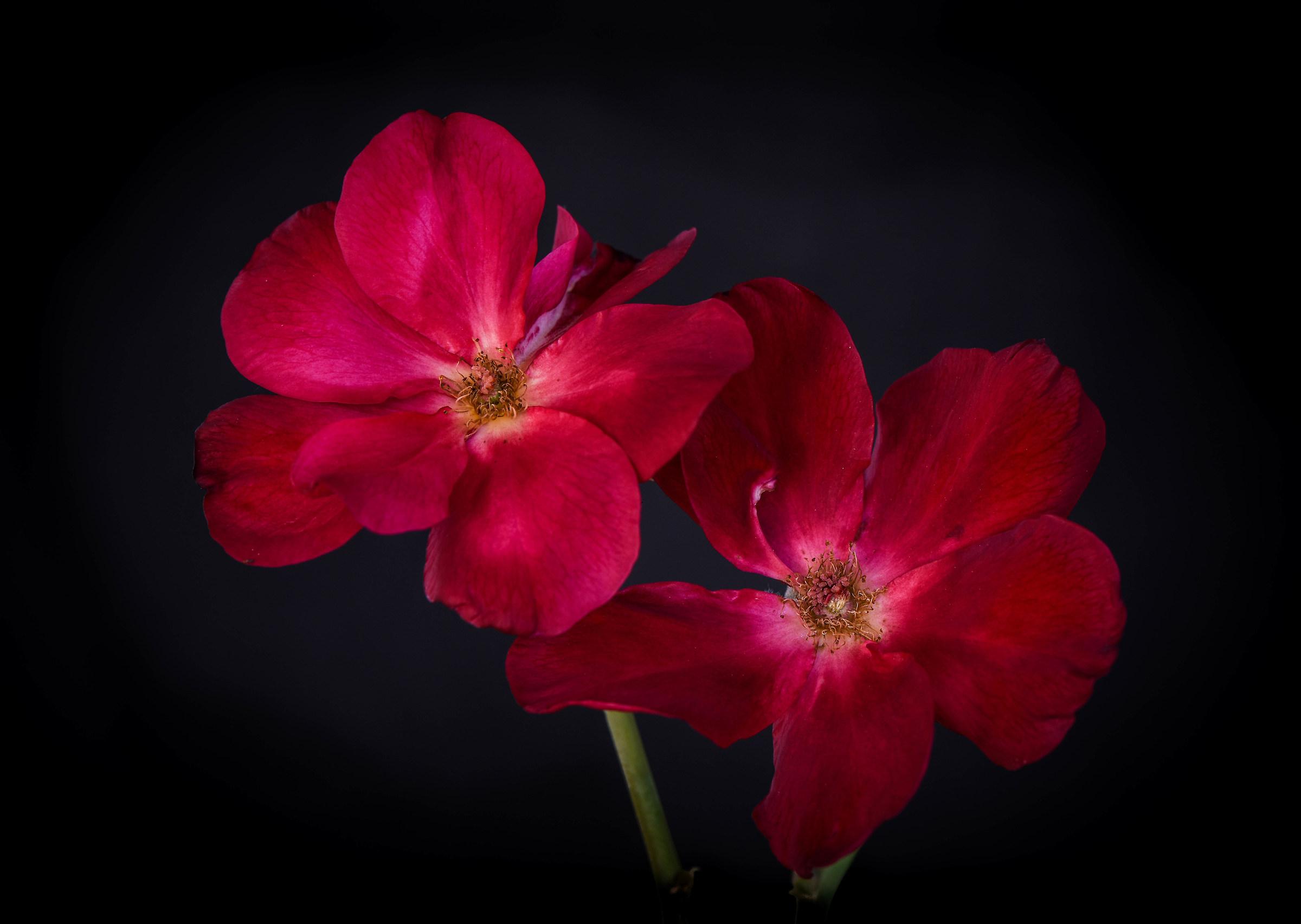 Red Rose chinensis....
