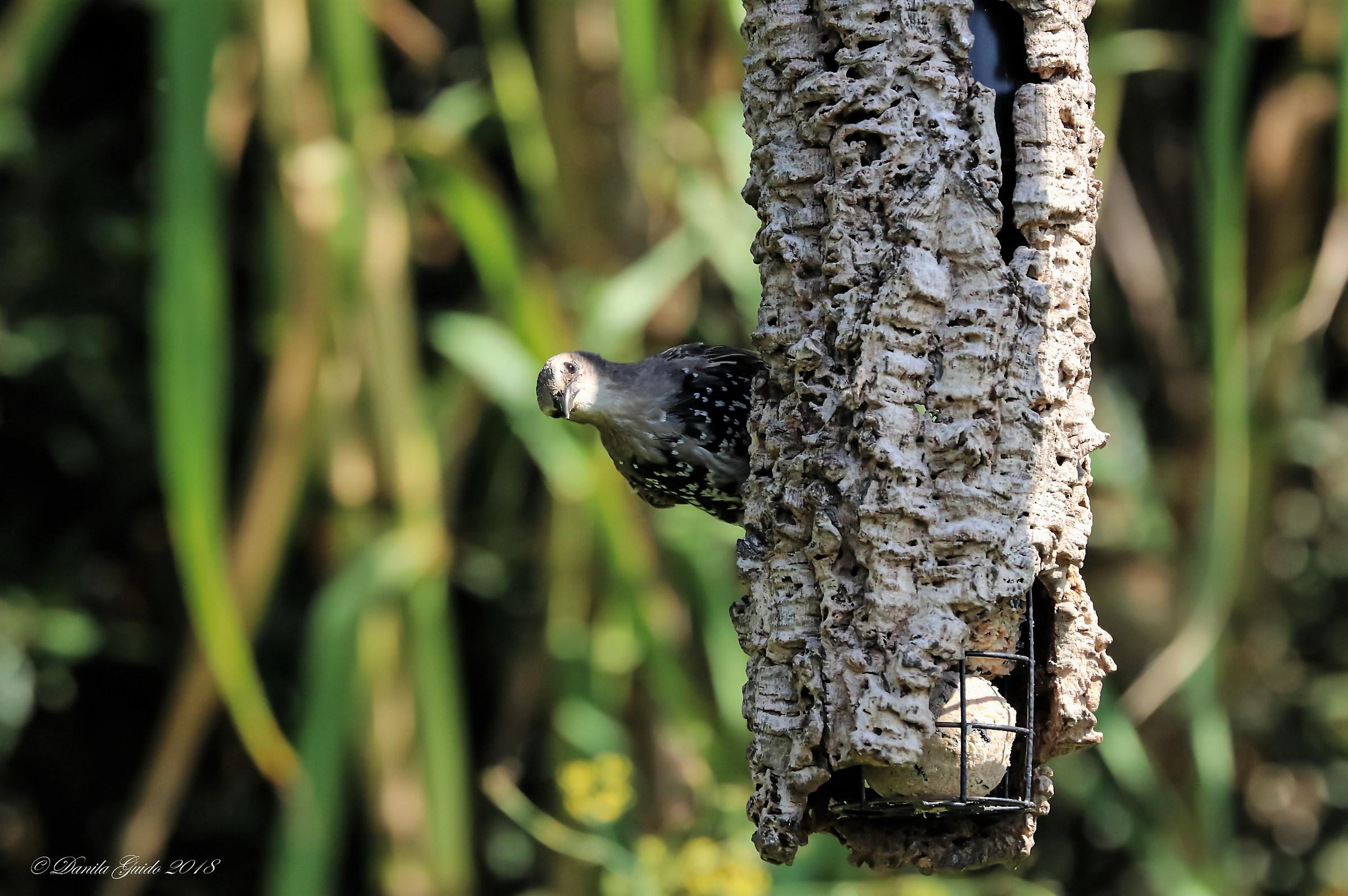Cuckoo!...