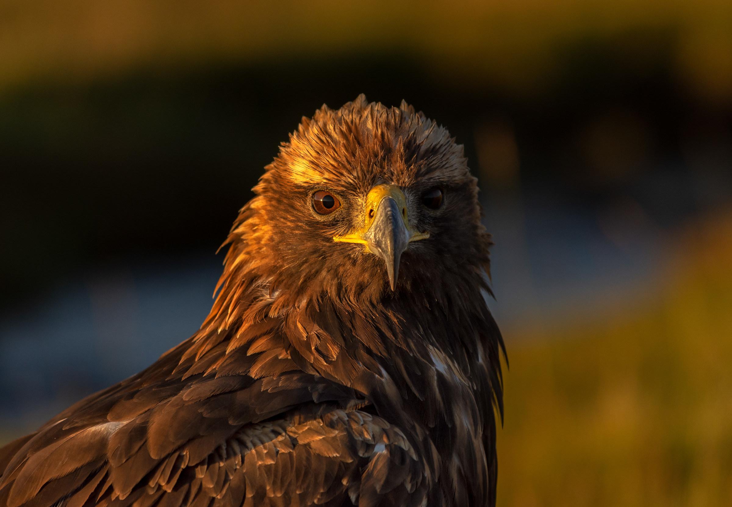 Golden Eagle Portrait...