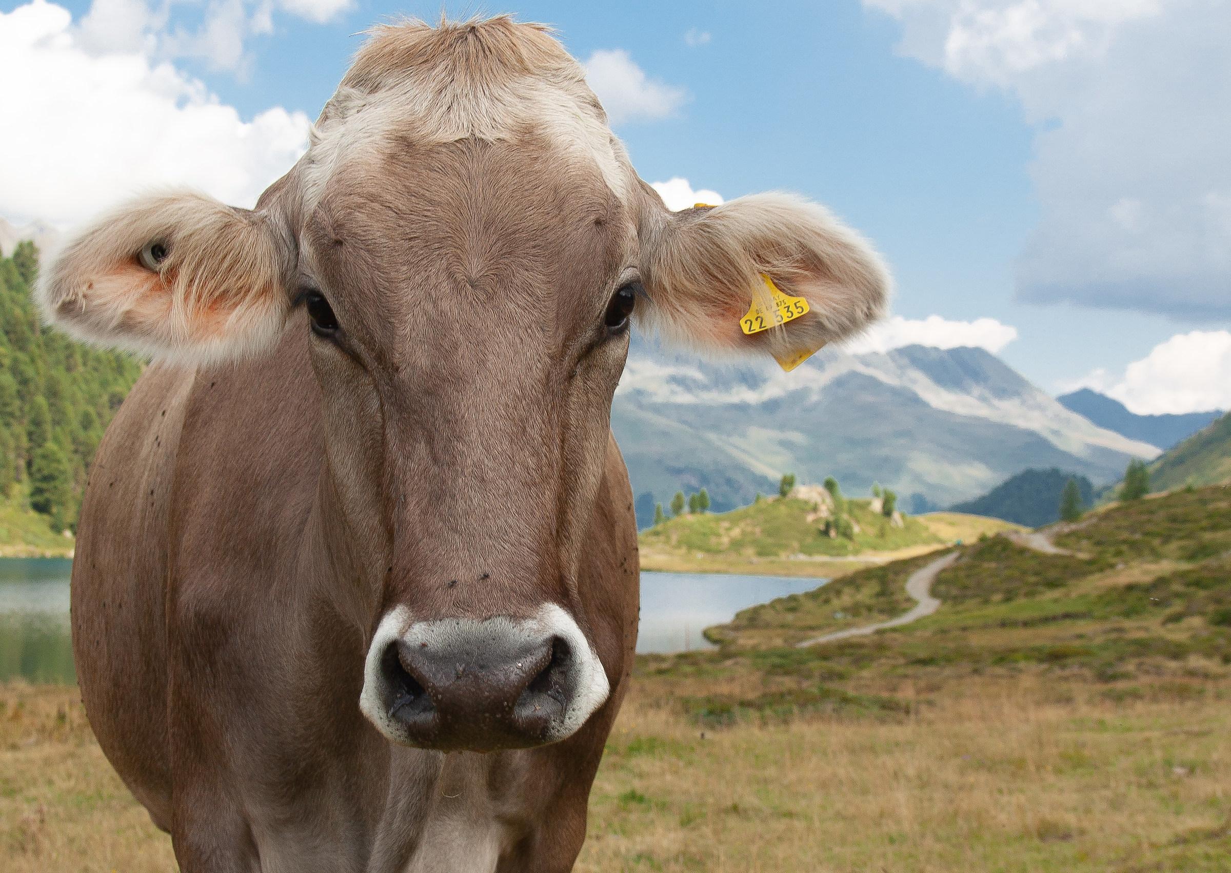 Cow......