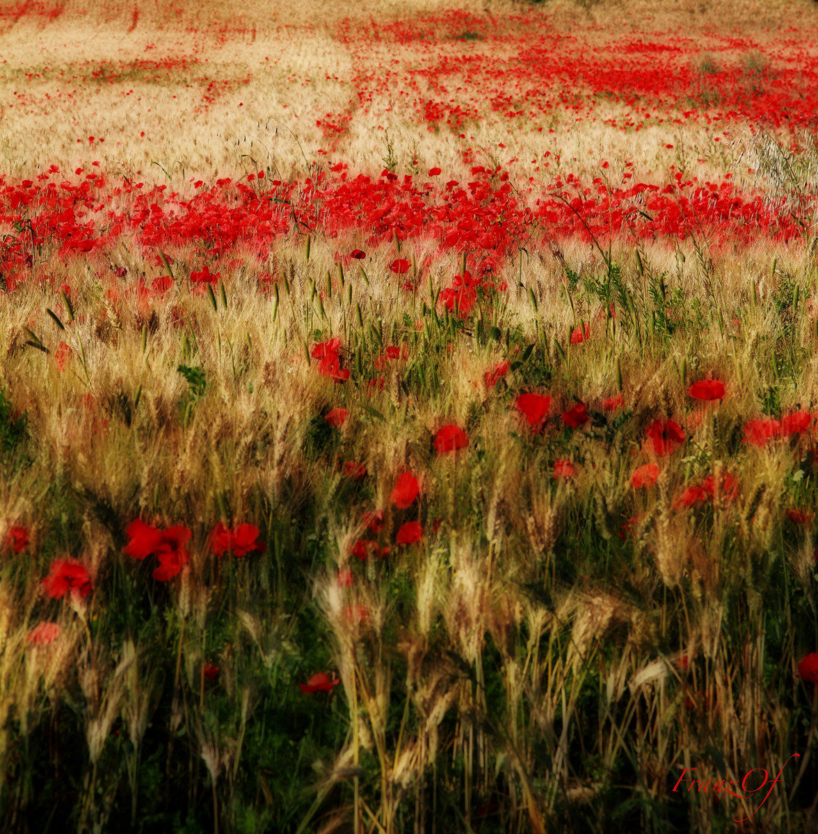 Poppies in the Grain...
