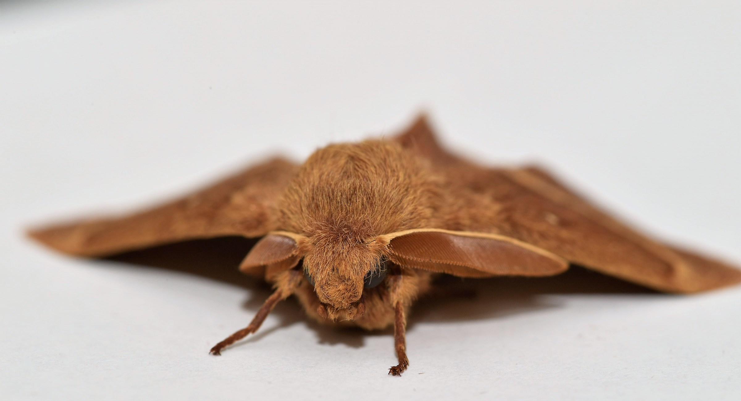 Gray Flour Moth...