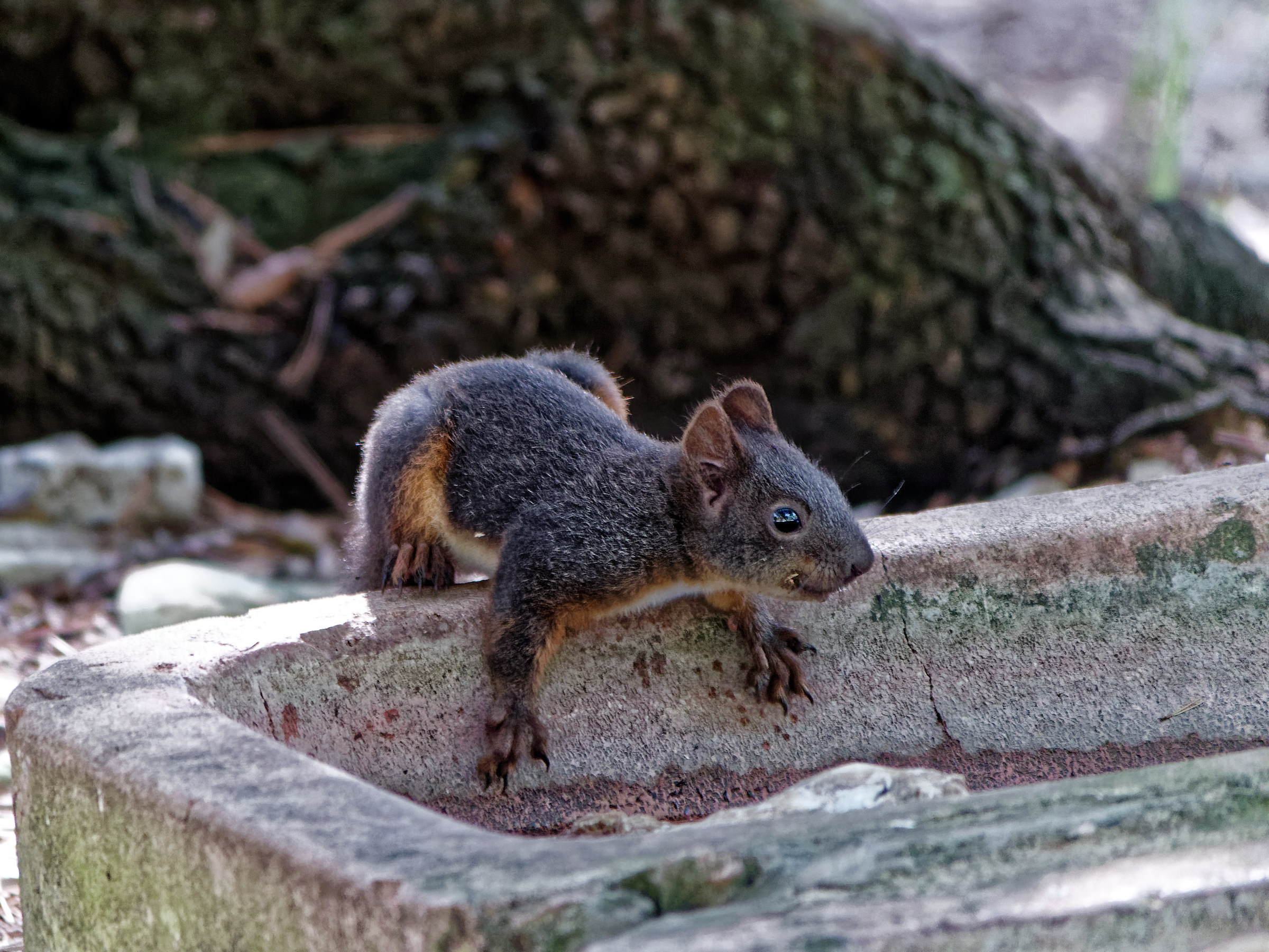 Red Squirrel 2...