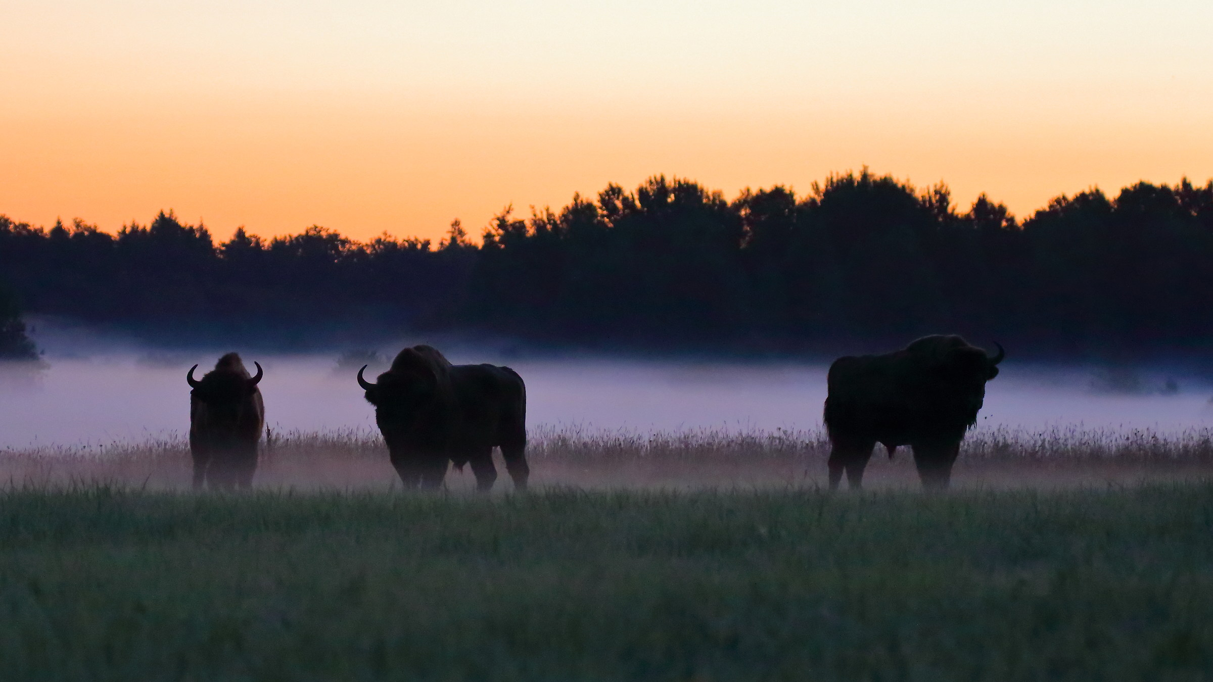 Bison in the Fog...