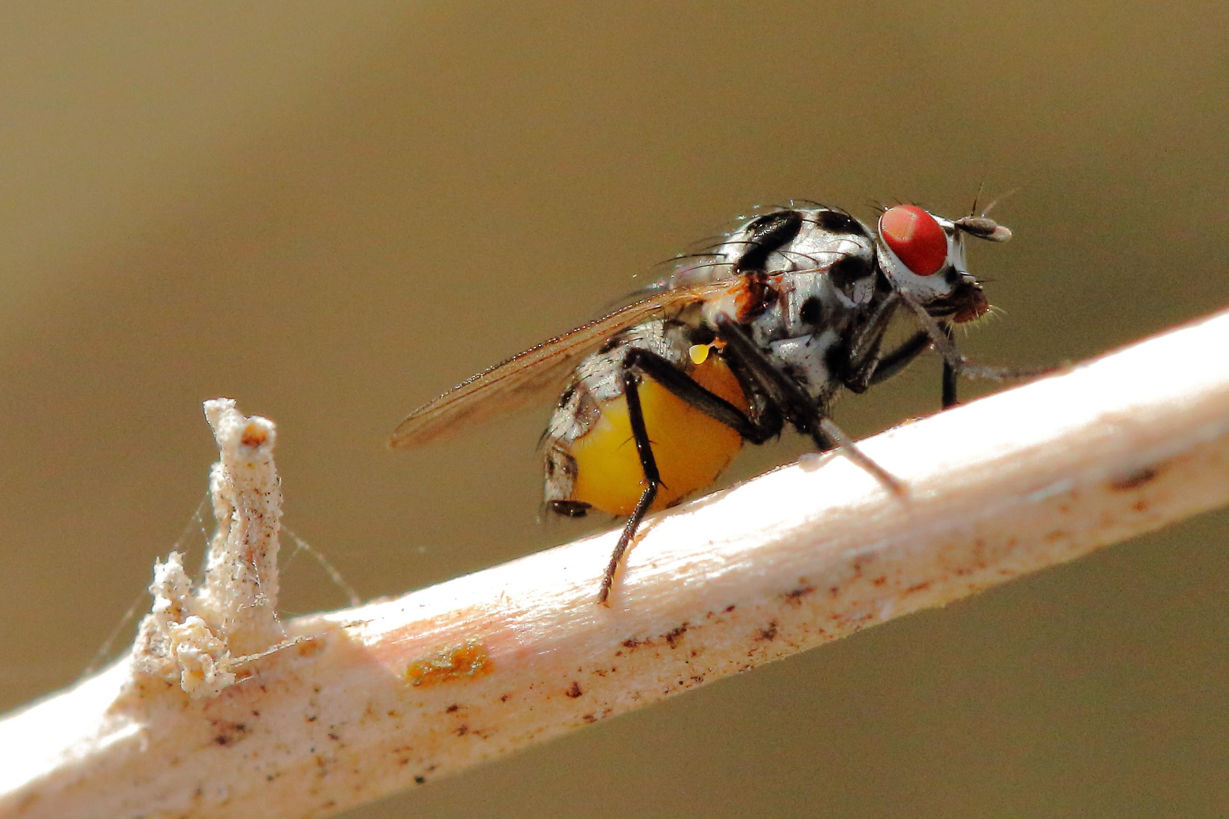 Emmesomyia Partner (Anthomyiidae)...