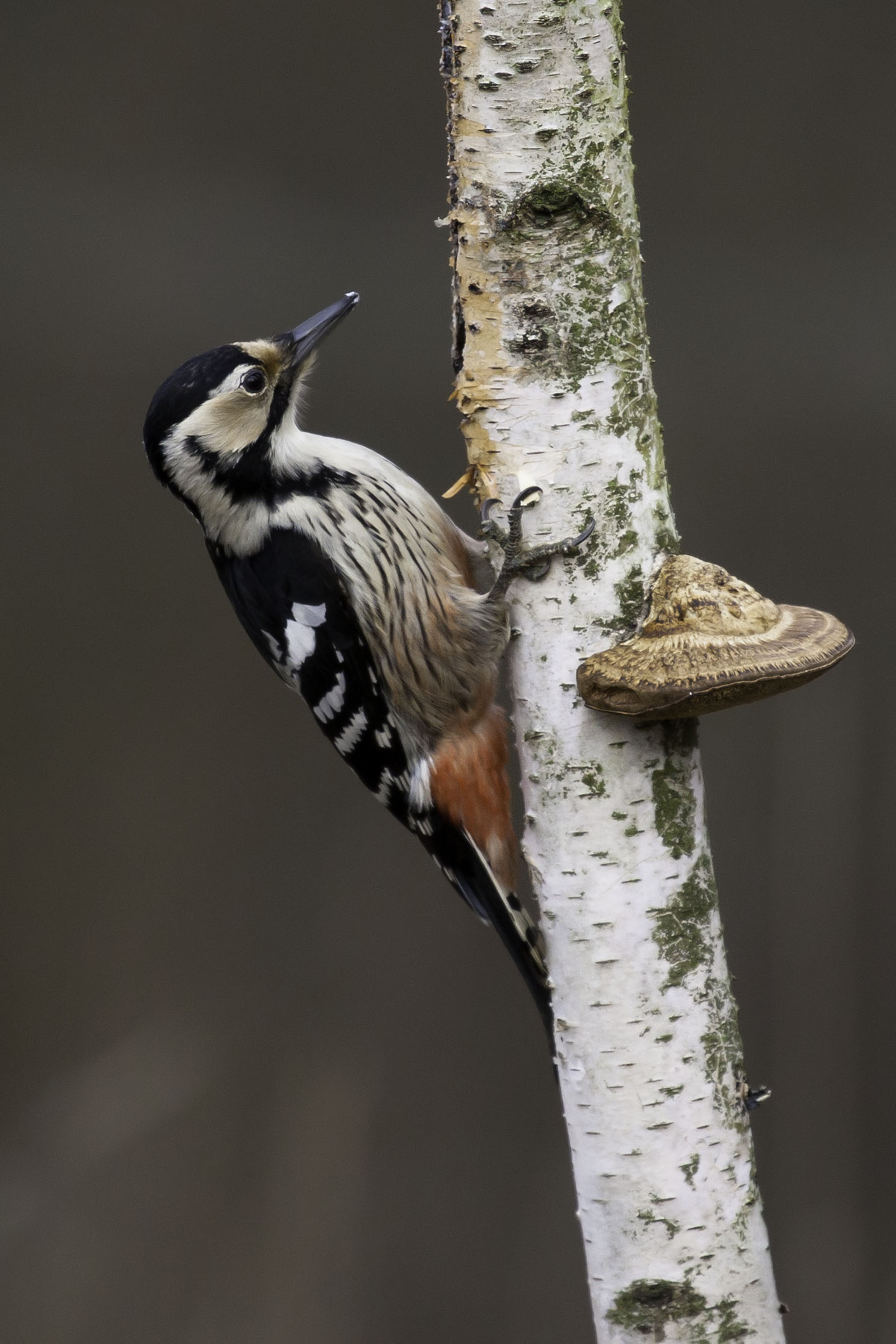 White-backed woodpecker...