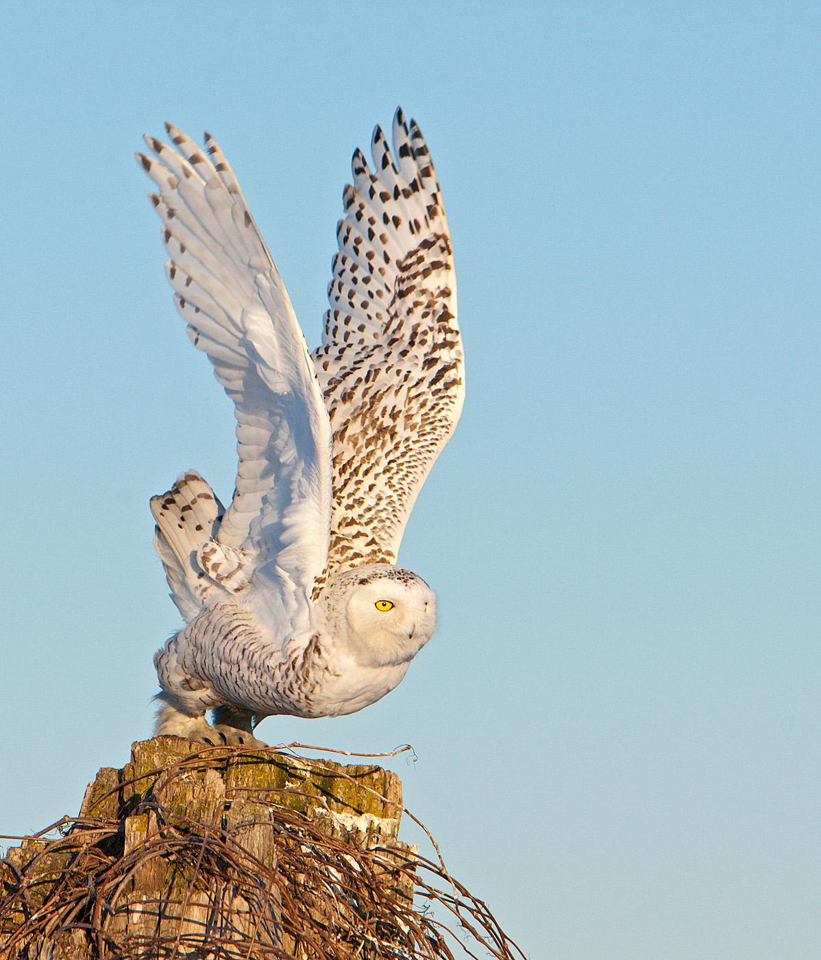 Snowy Owl Female , Ontario , Canada...