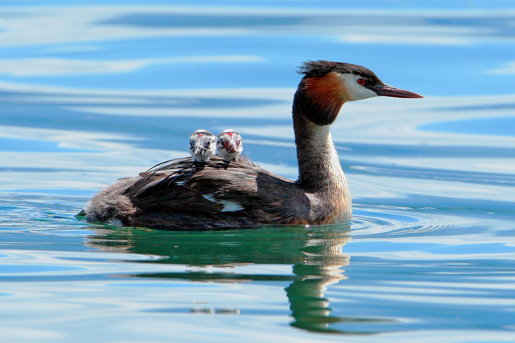 mother grebe - Lake Iseo -...
