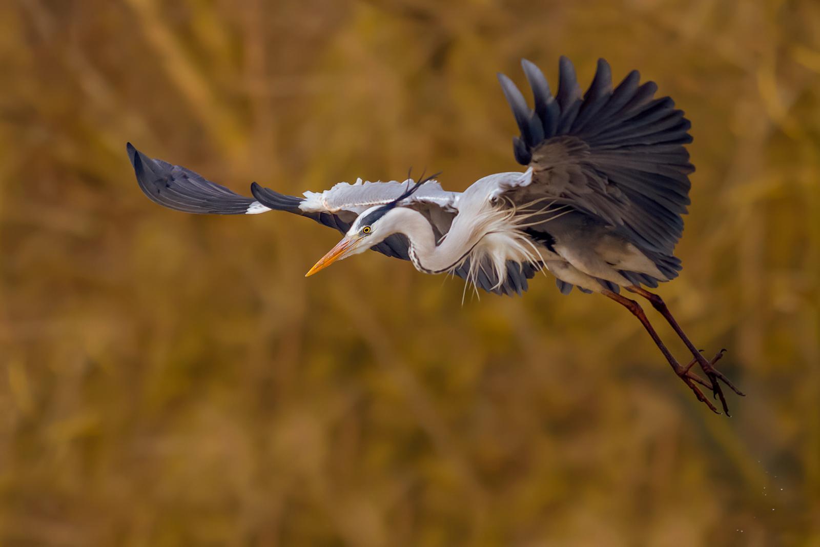the Heron...