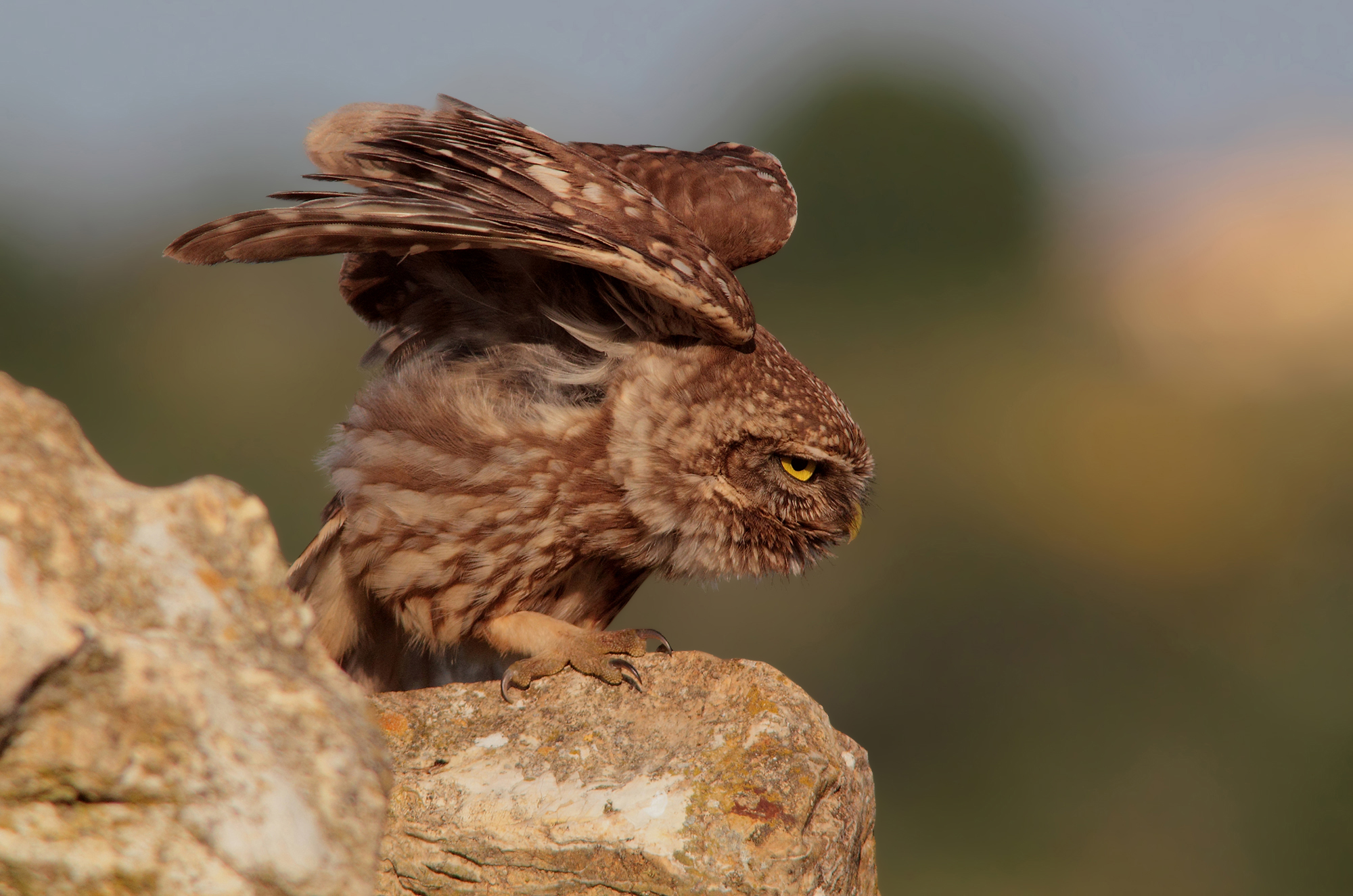 """Flight testing for the """"my"""" owl..."""
