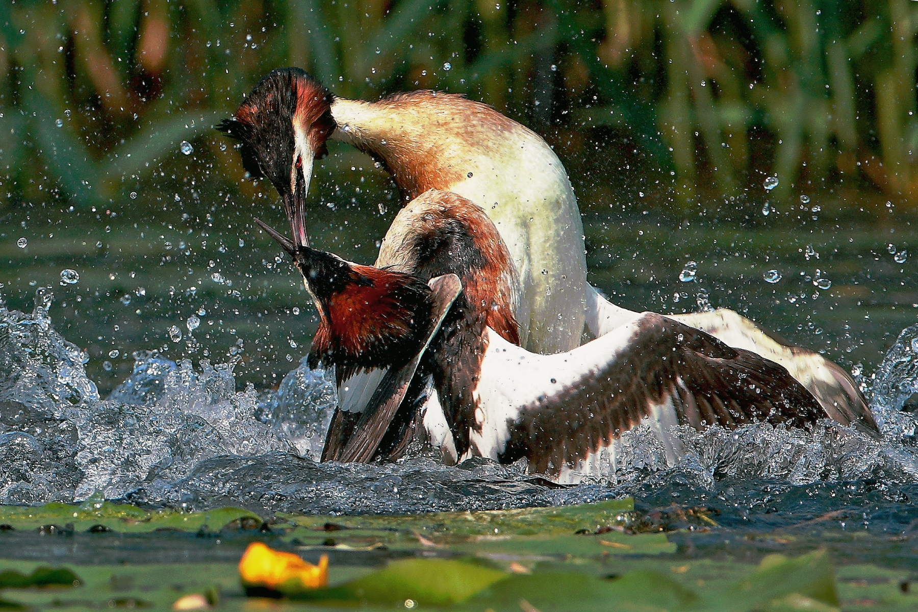 grebes fighting...