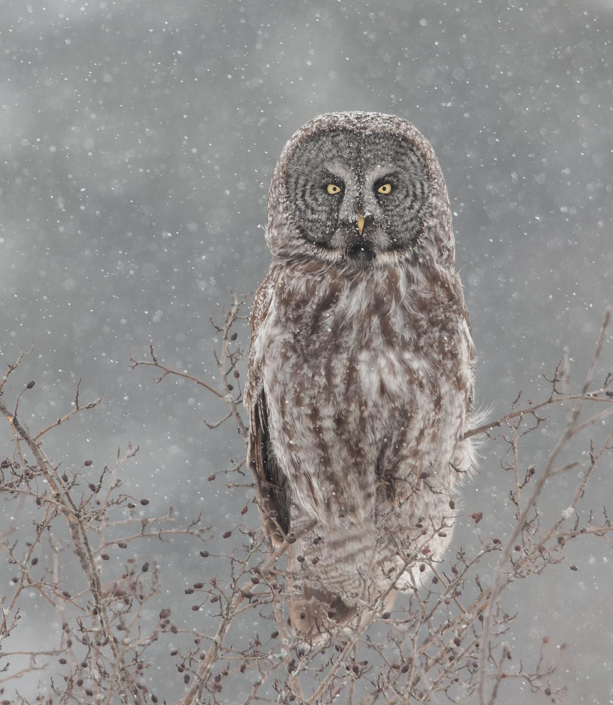 Great Grey Owl...