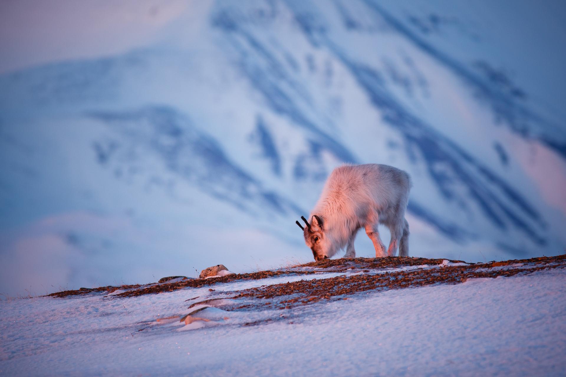 Svalbard reindeer...