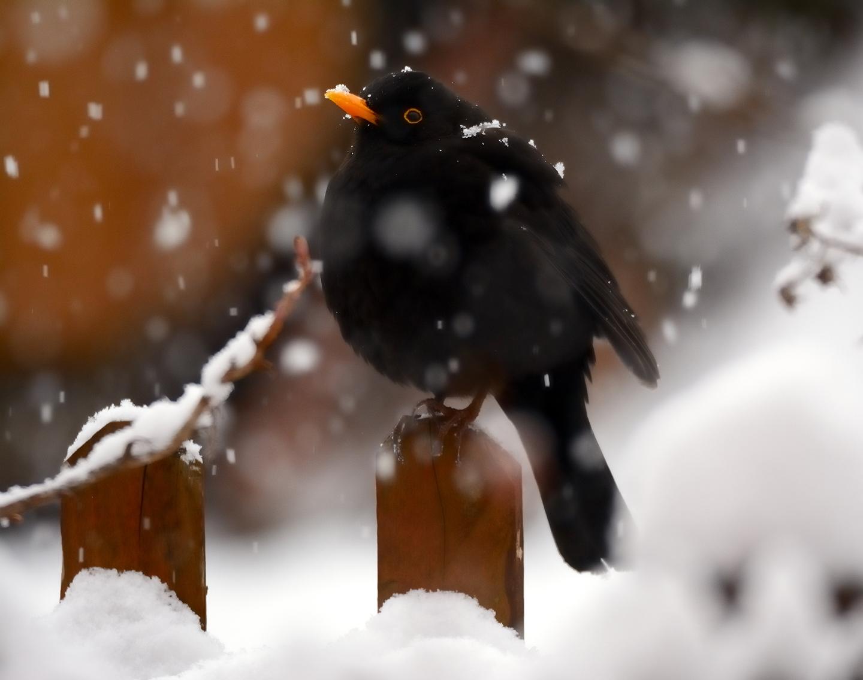 Blackbird...