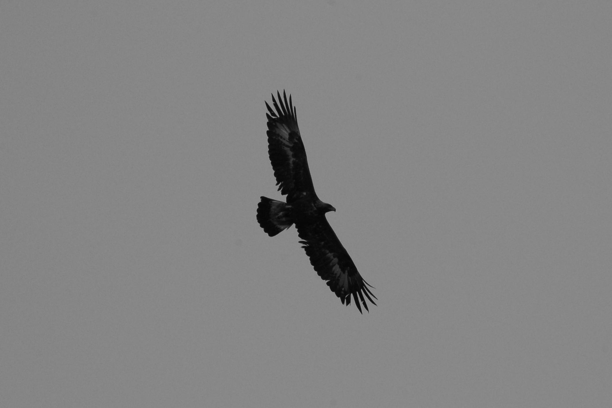 Aquila reale in bianco e nero...