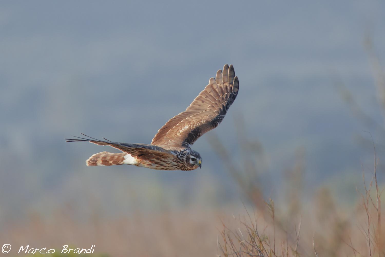 Harrier, female...