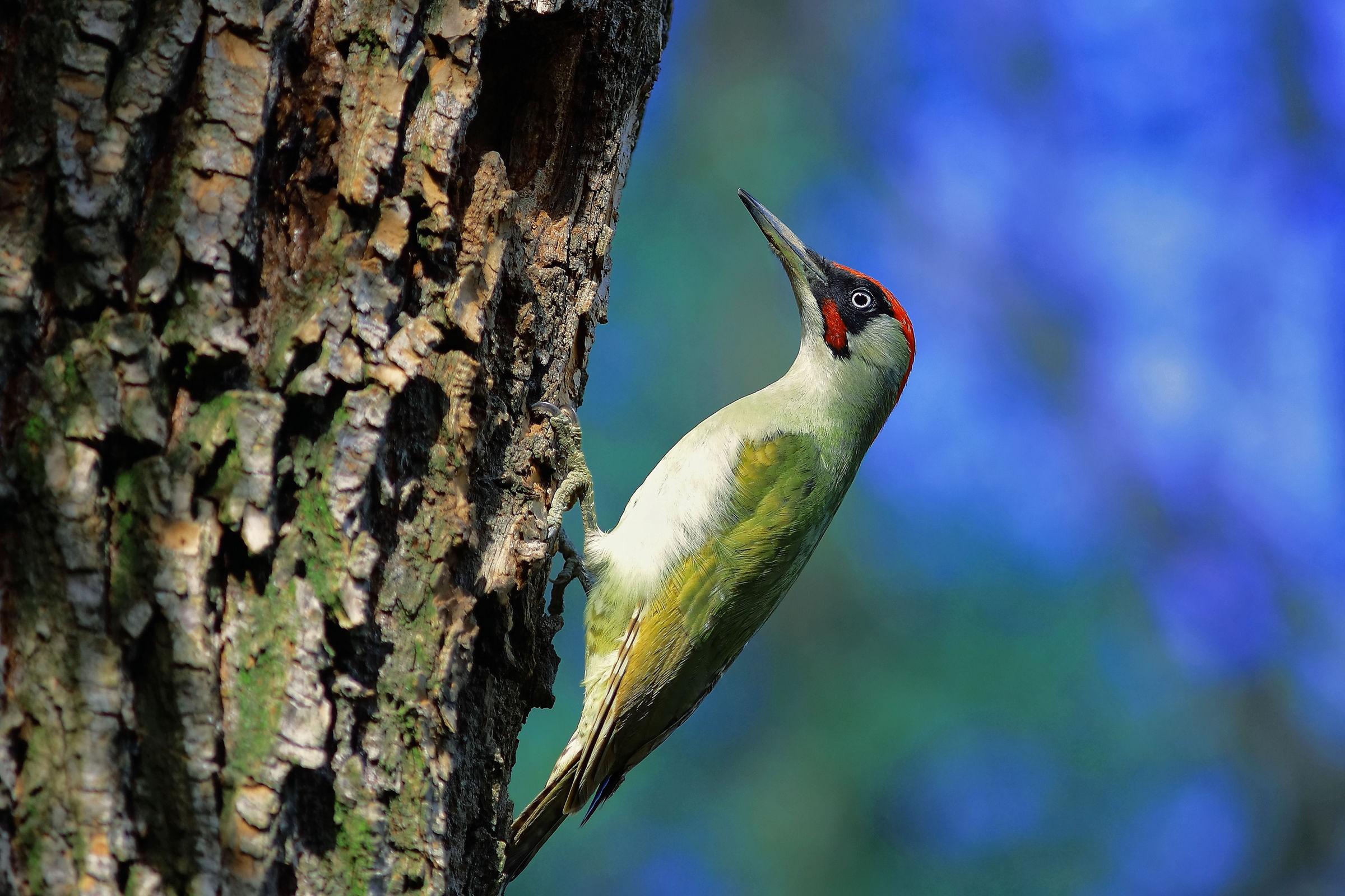 Boy green woodpecker...