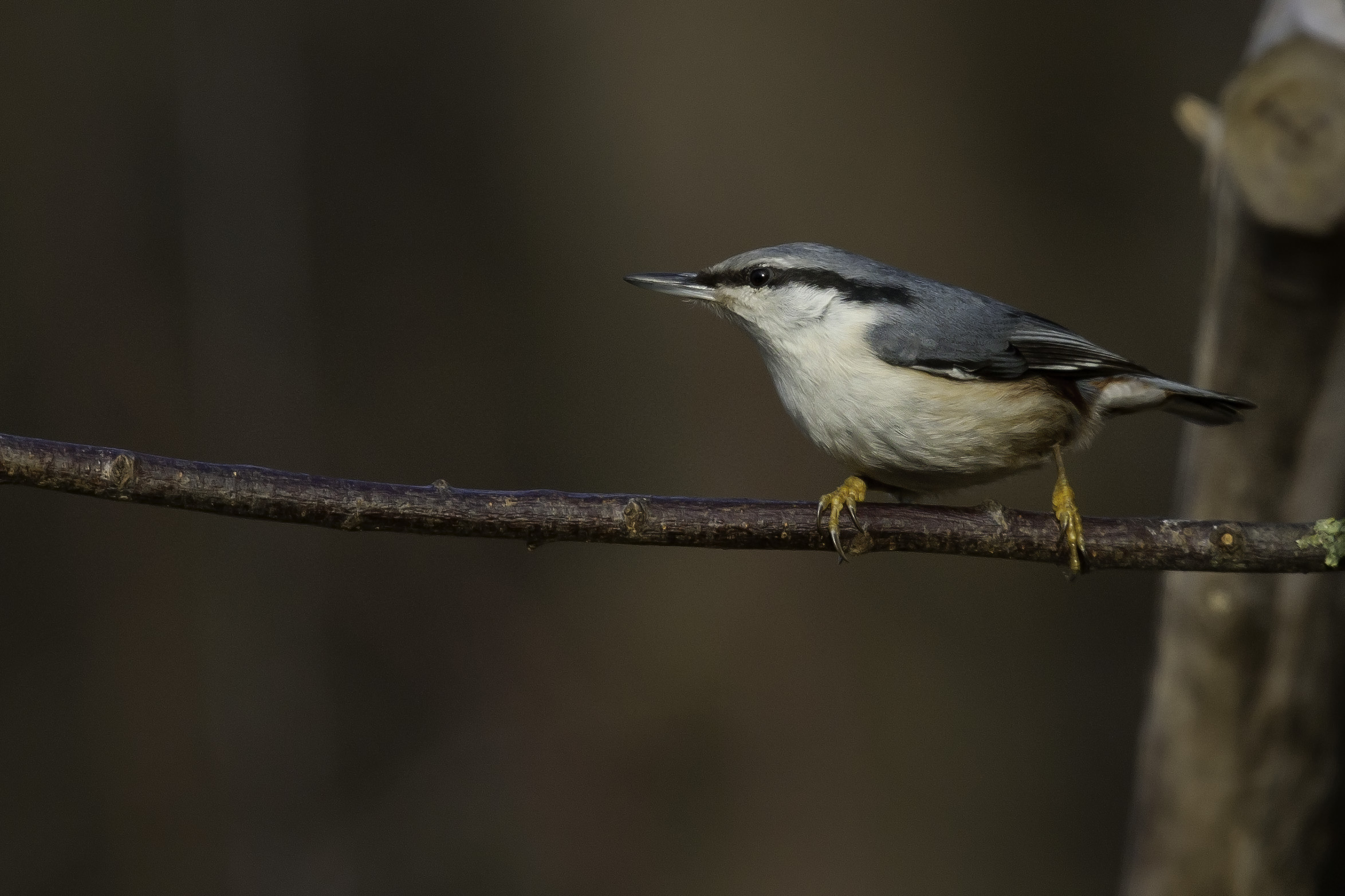 Nuthatch (Asian subspecies)...