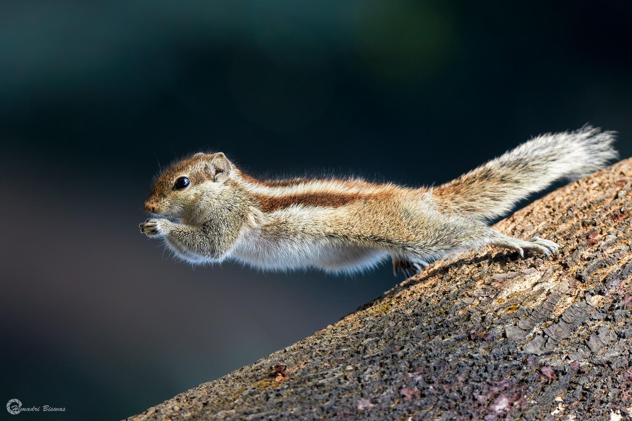 five stripped palm squirrel...