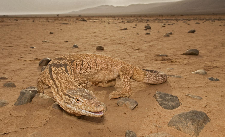 The lizard of the desert - desert monitor...