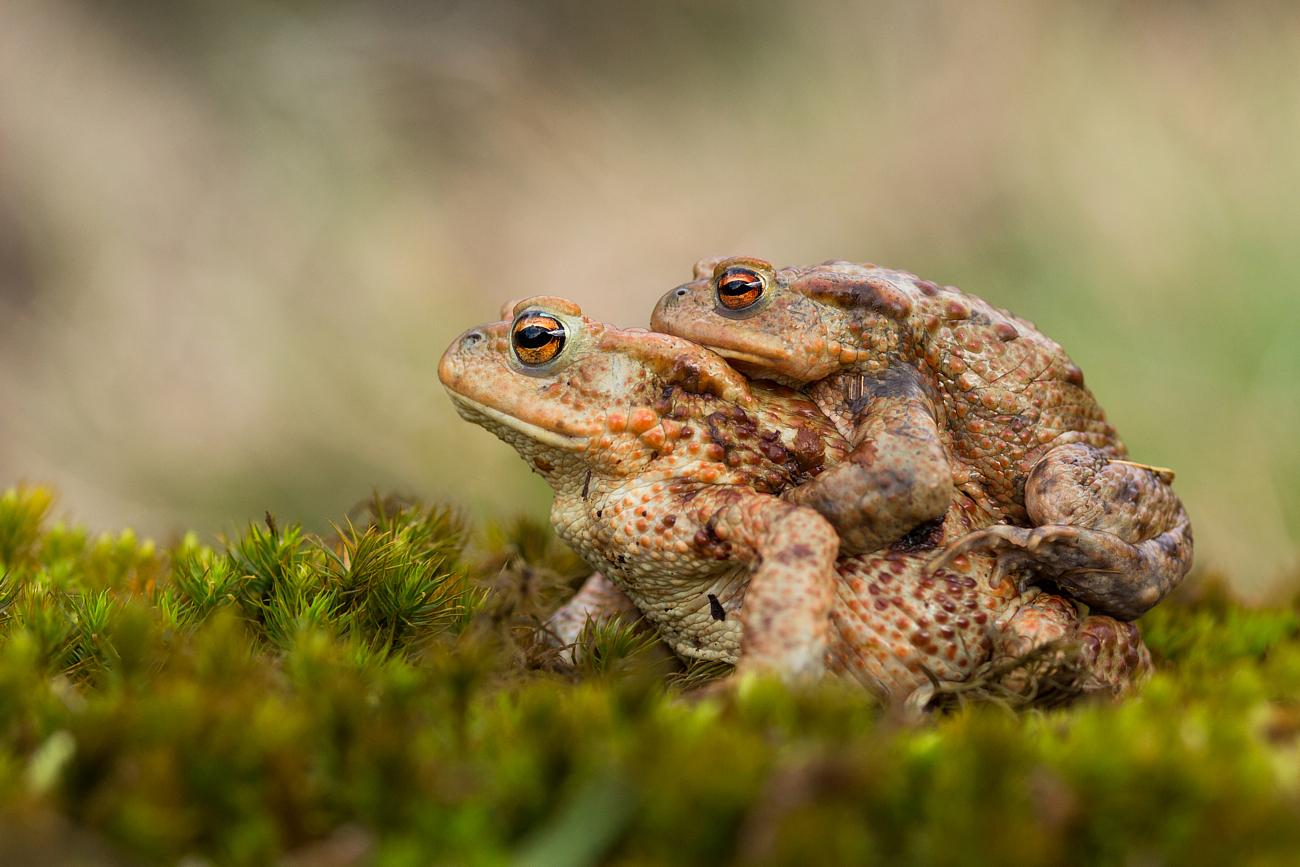 Beautiful couple - bufo bufo...