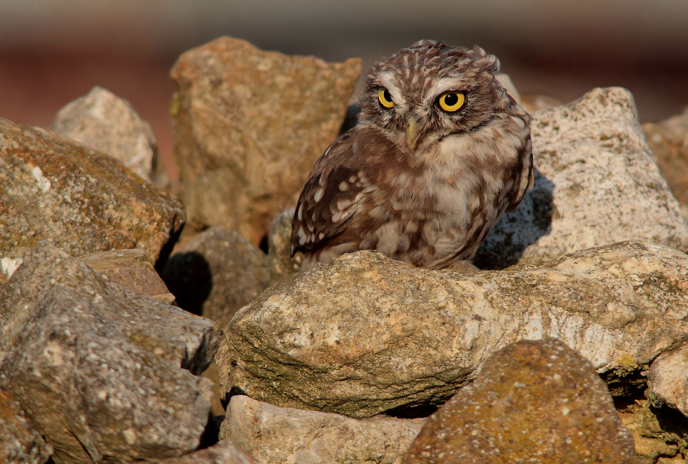 owl alarmed...