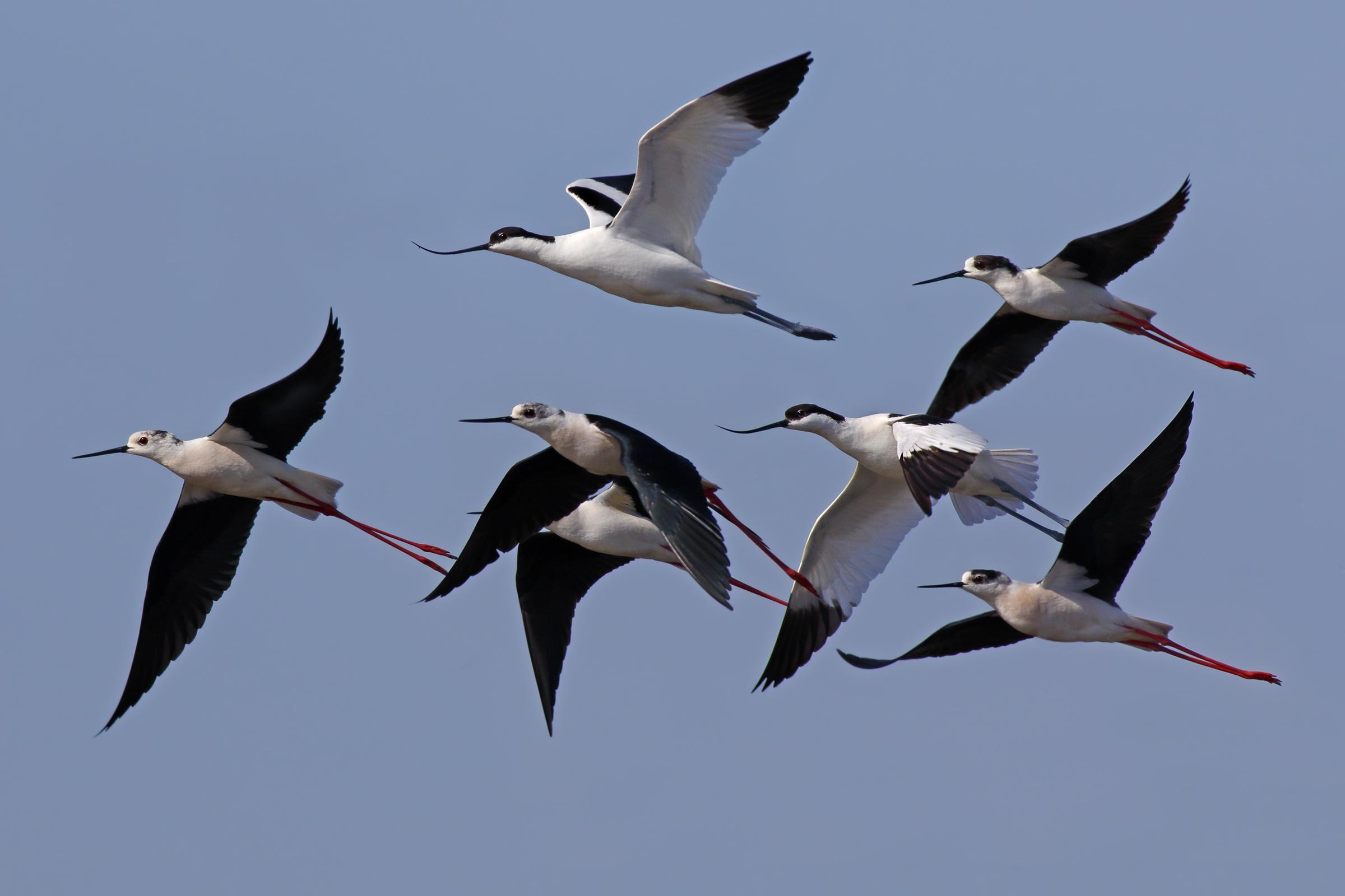 In flight - avocets and stilts Italy...