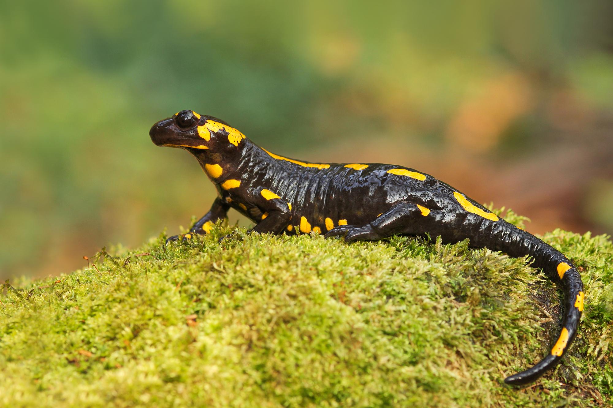 Salamandra salamandra...