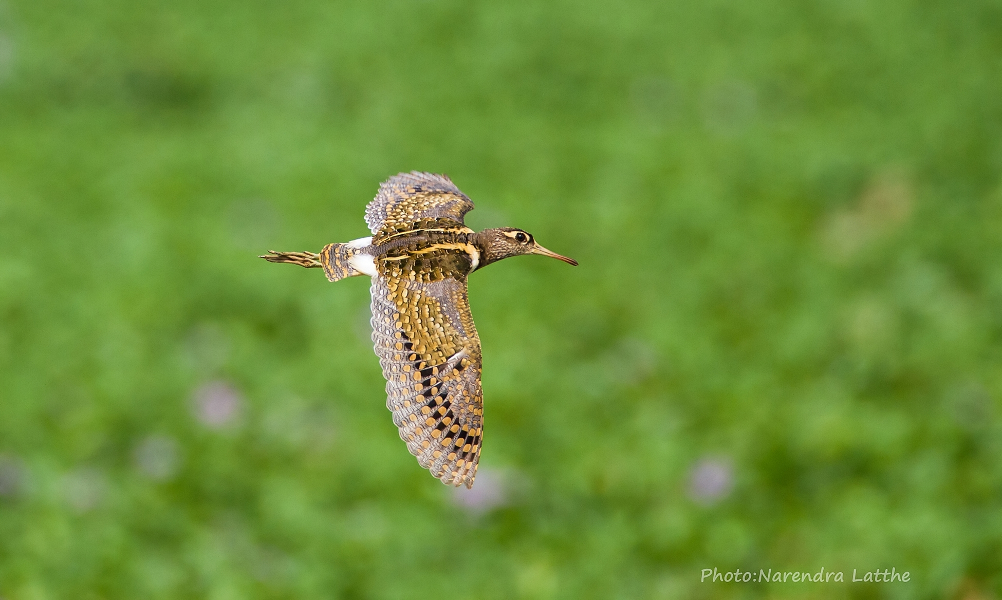 Greater Painted Snipe Flight...