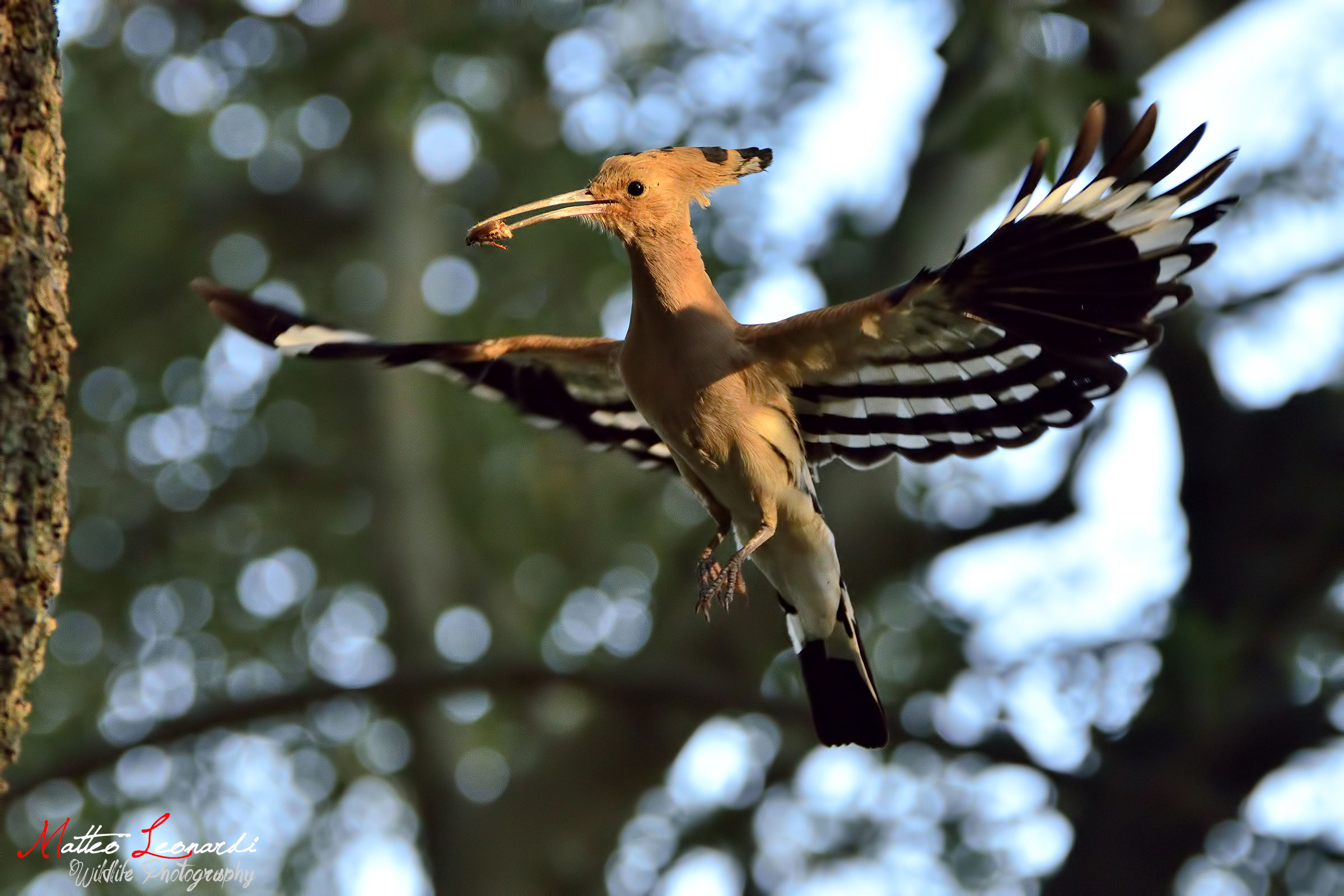 Hoopoe in the Holy Spirit...