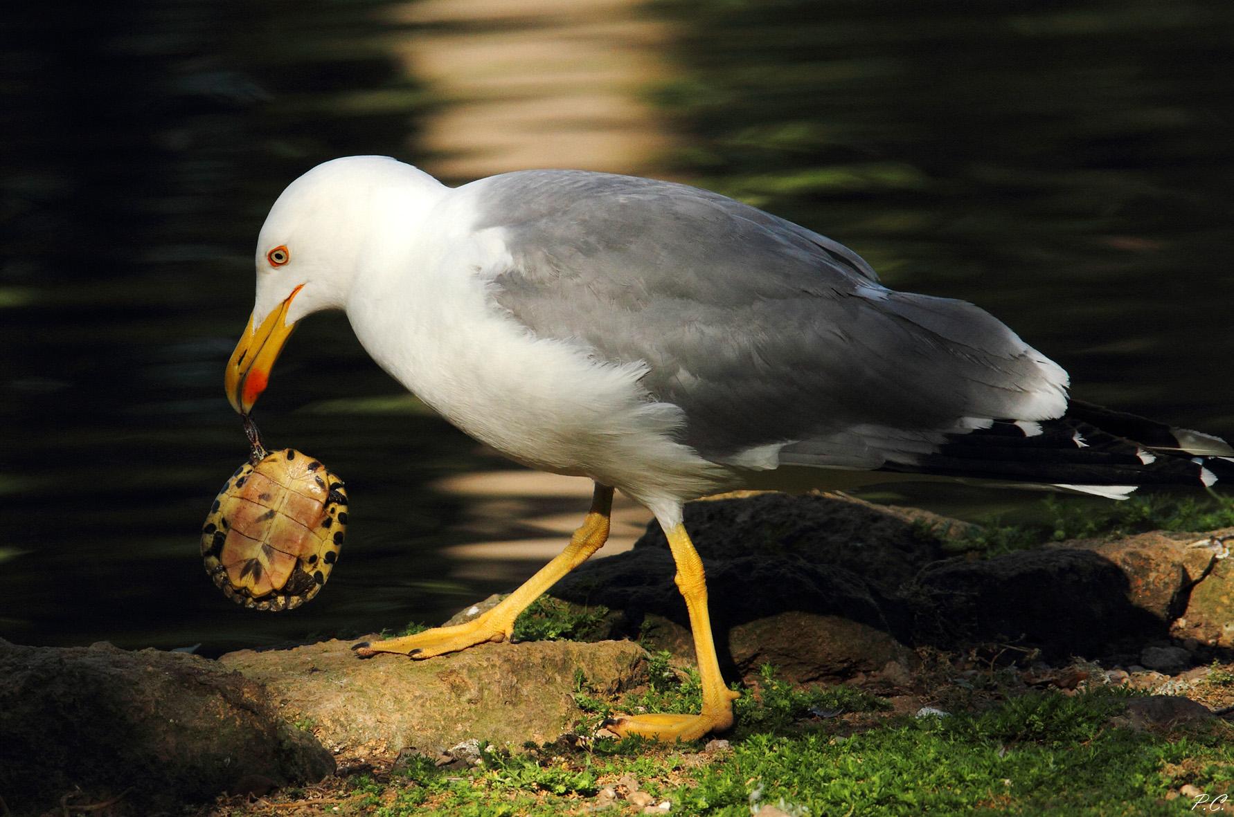 Seagull vs turtle...