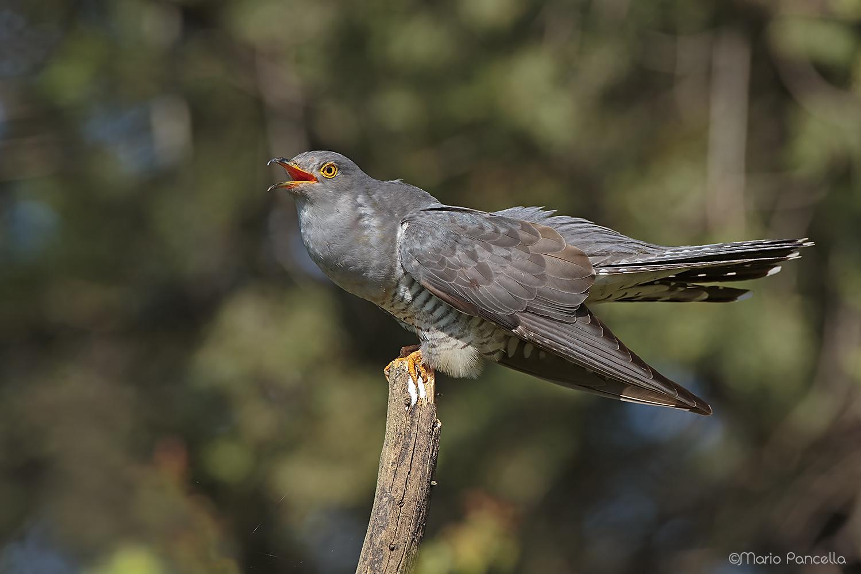 Cuckoo...
