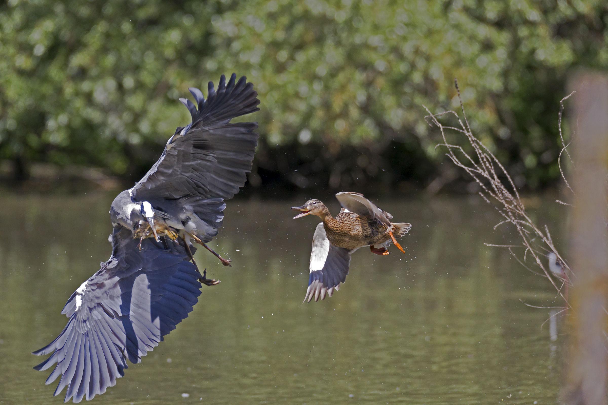 heron predation...