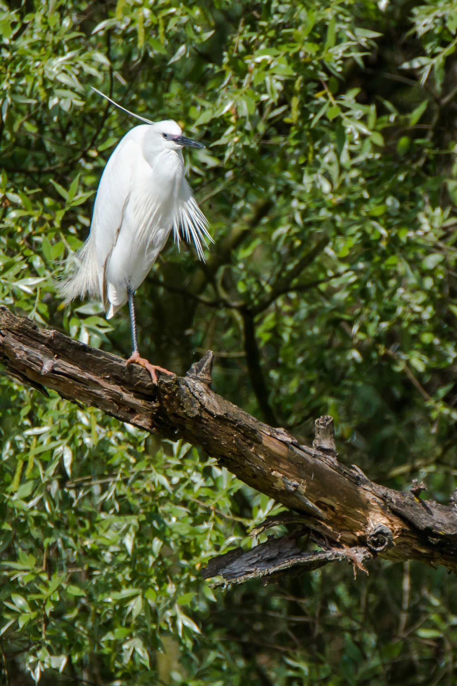 egret disheveled...