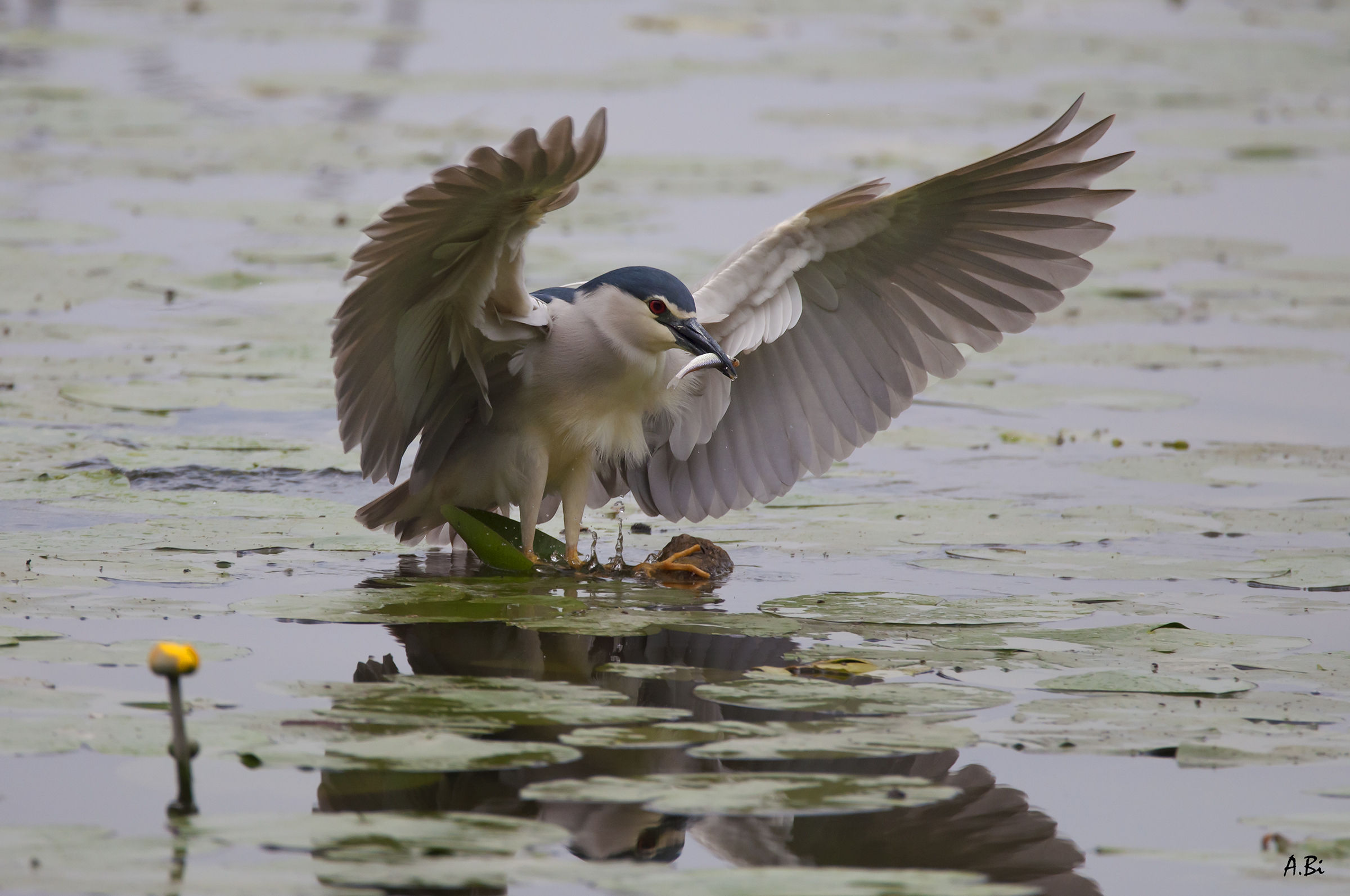Night Heron...