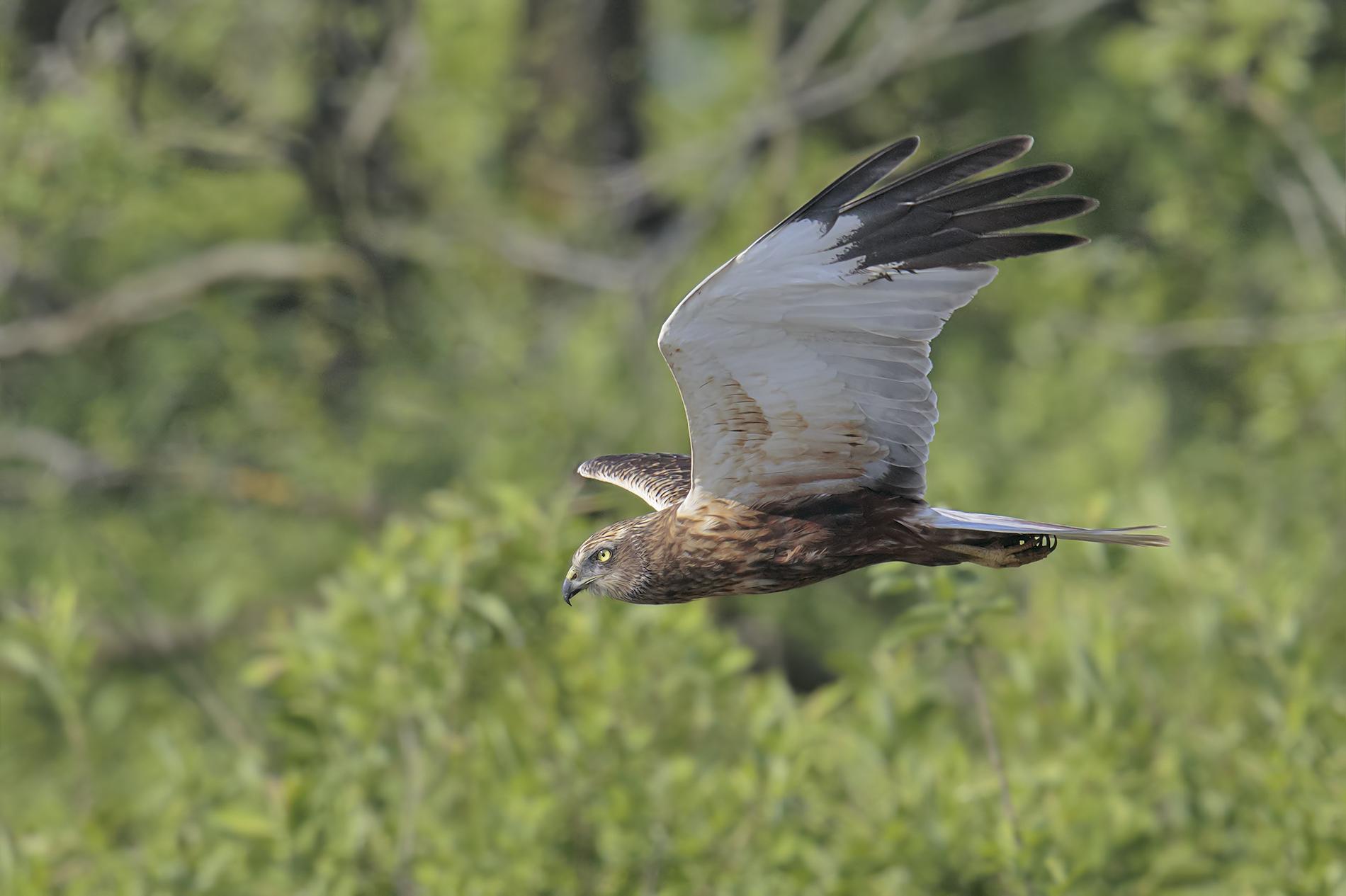 the marsh harrier male...