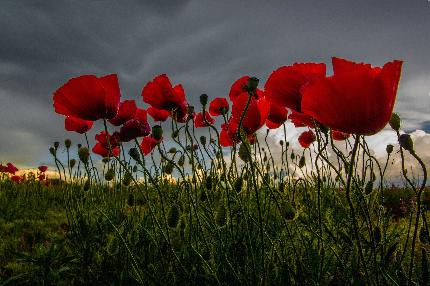 You know that poppies .......