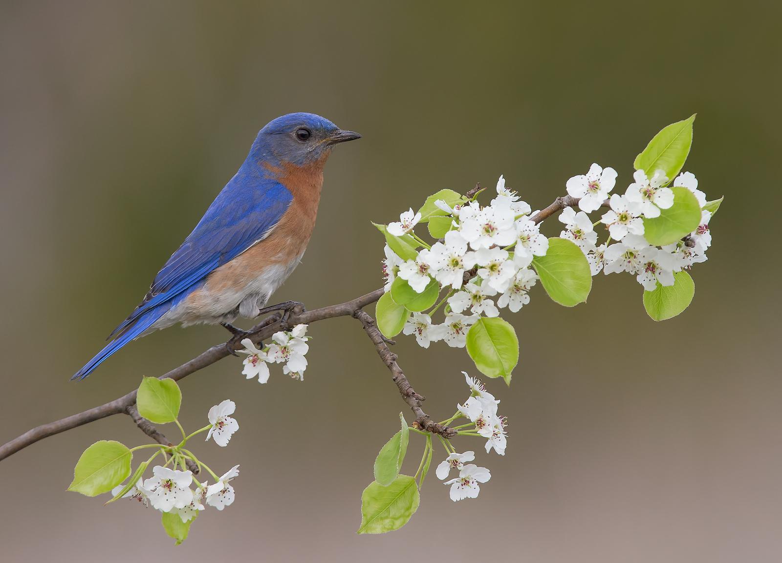Eastern Bluebird Male...