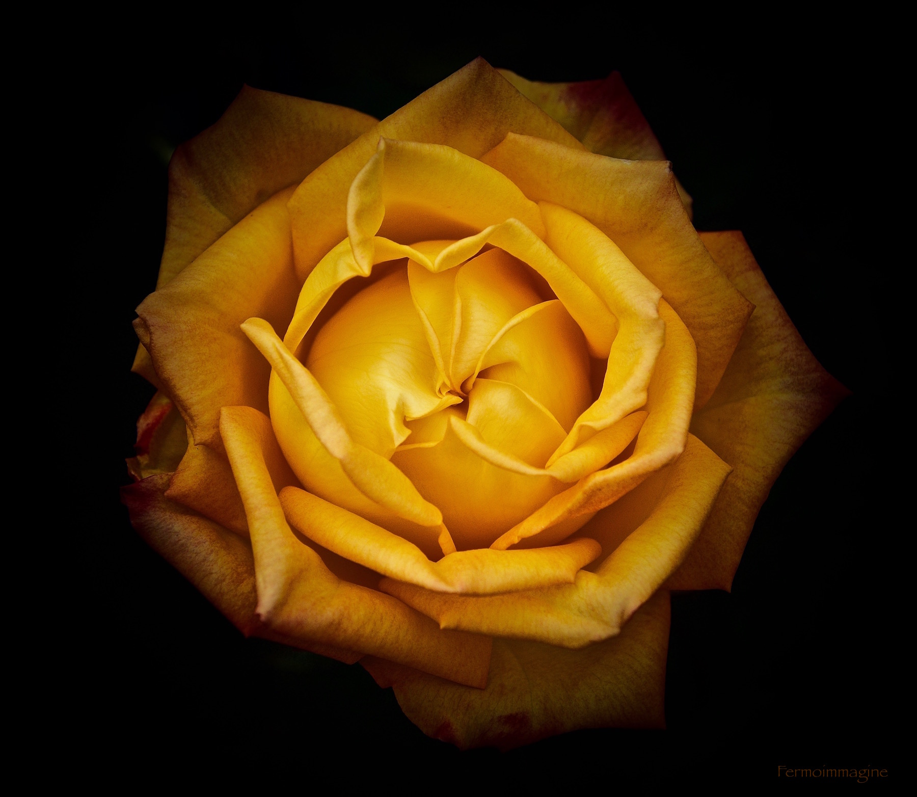 A rose in the evening never gets black ......